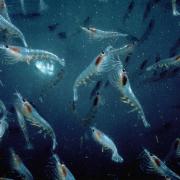 Krill crevette polaire